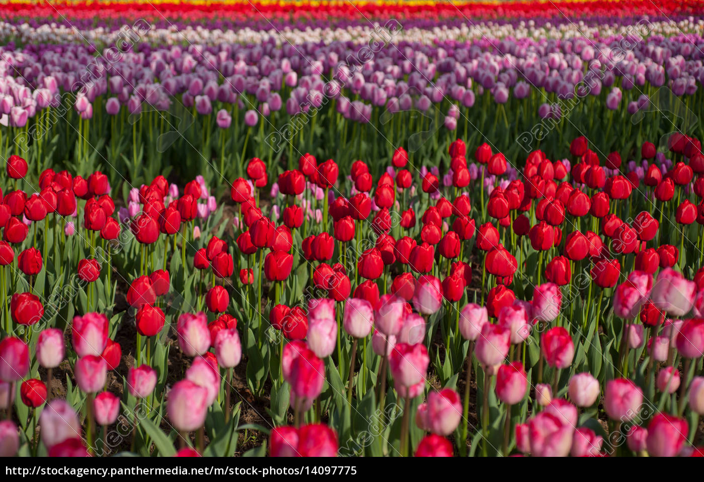 colorful, tulips, field - 14097775