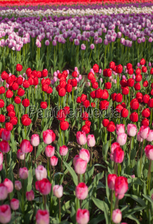 colorful, tulips, field - 14097777