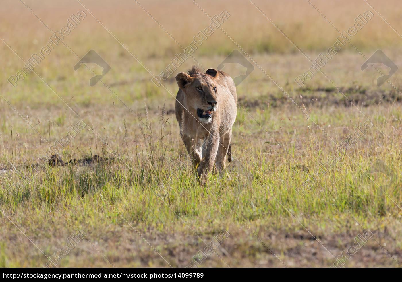 lion - 14099789