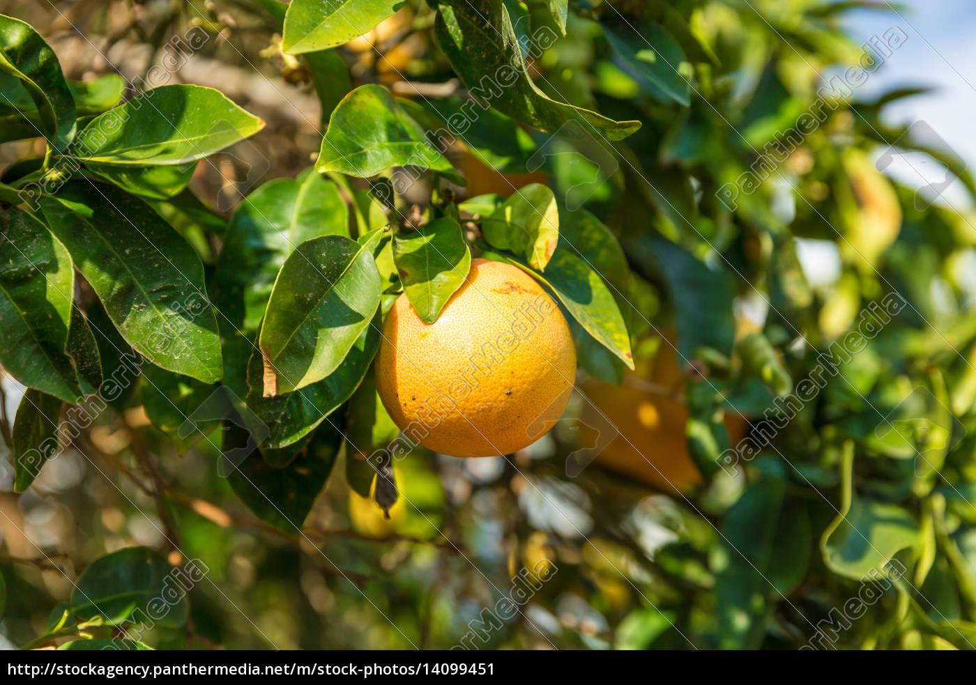 orange, tree, with, the, ripe, oranges - 14099451