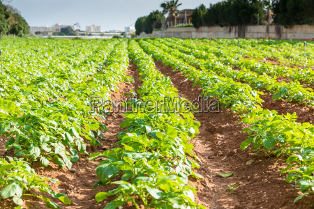 potato, field, with, green, bushes - 14099463