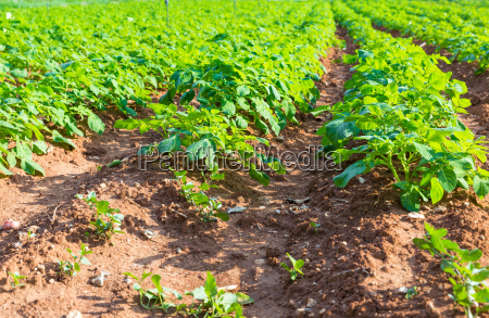 potato, field, with, green, bushes - 14099479