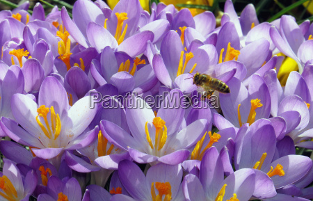 blooming blue crocus with bee approaching