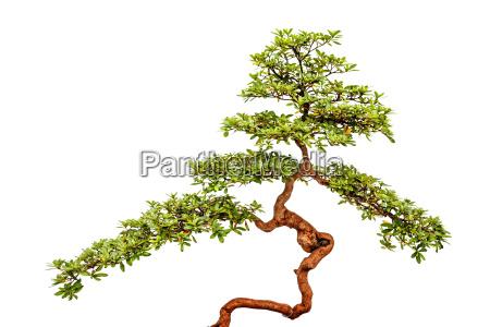 bonsai tree on white background