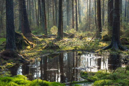 natural coniferous stand of bialowieza forest