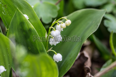 lily of the valley with traubigem