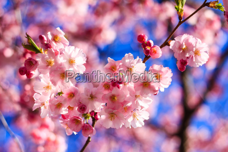 rosa sakura flor que floresce