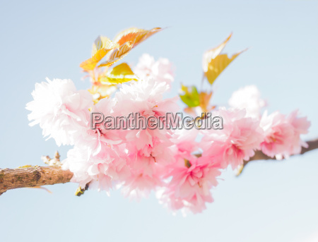 japanese pink cherry blossoms blooming