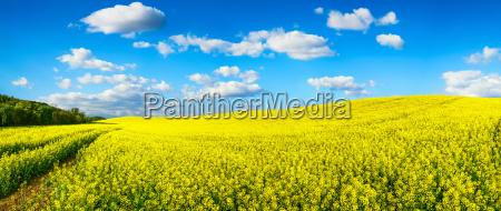 blooming rapeseed field panoramic