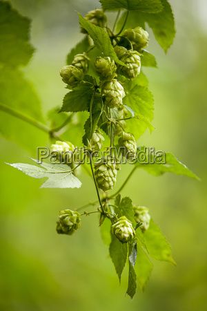 genuine hop humulus lupulus