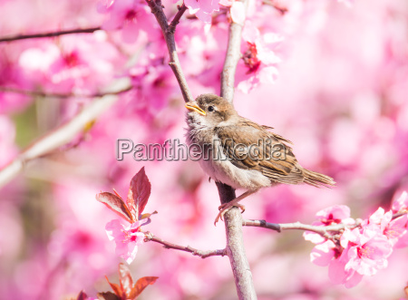 sparrow in flowering peach tree