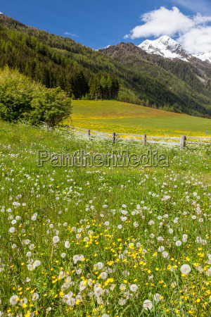 flower meadow in the mountains