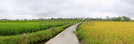 exotic rice terrace in bali panorama