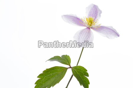 flower of a clematis isolated