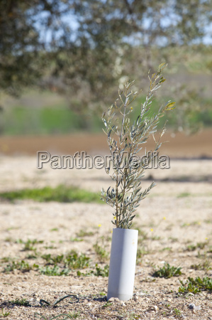 olive tree plant protected by pvc
