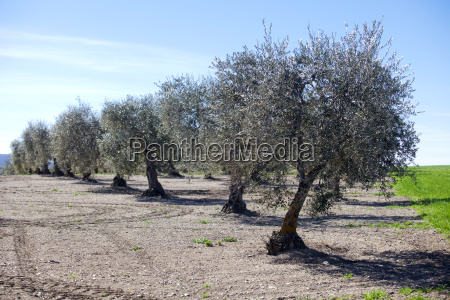 olive trees lined