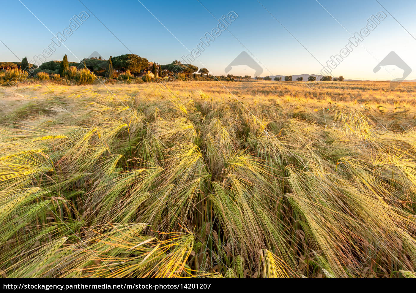 young, wheat, growing, in, green, farm - 14201207