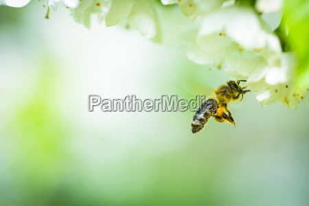 honey bee in flight approaching blossoming