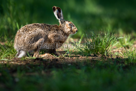 brown hare lepus europaeus