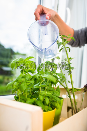 watering the kitchen herbs young