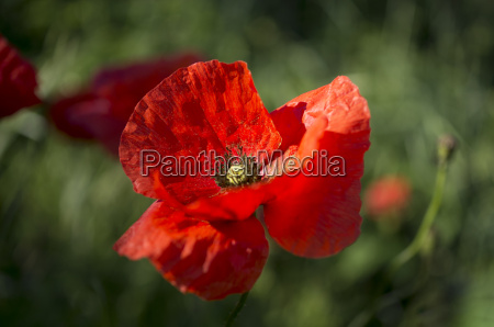 the poppy red