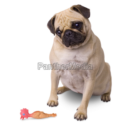 dog with rubber duck isolated on