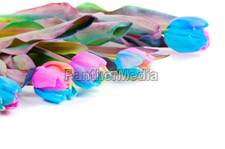 unusual rainbow tulips on white
