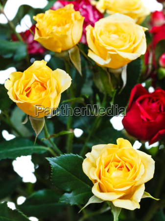 yellow and red roses in bunch
