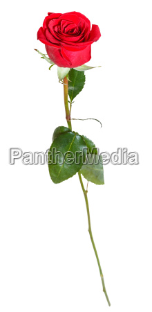one natural red rose flower isolated