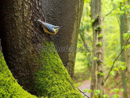 nuthatch woodpecker bird sits on a
