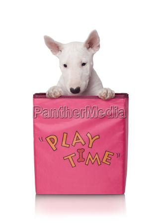 puppy in match box