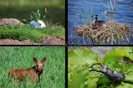 wildlife collage of the scandinavian