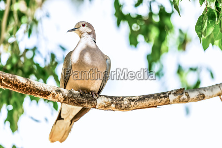 white winged dove or pigeon
