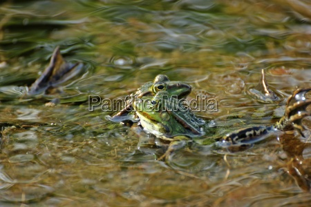 battle of the pond frogs