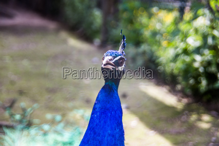 peacock with blue plumage
