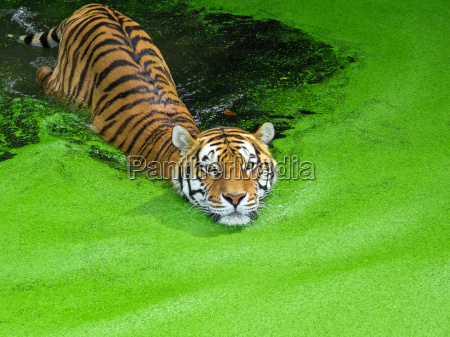 siberian tiger swims in the water