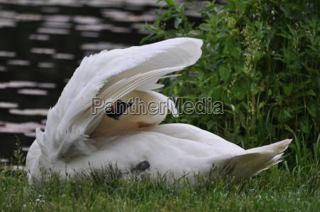 hoecker swan cygnus olor during the