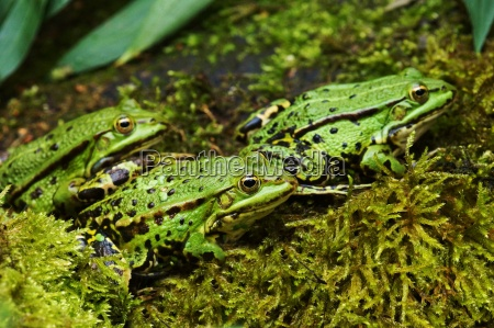 three frogs at a pond