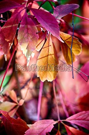 reddish autumn leaves