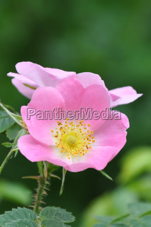 dog rose rosa canina hagrose