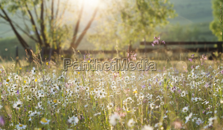 summer meadow full with daisies after