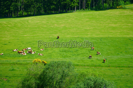 landscape with grazing cows in the
