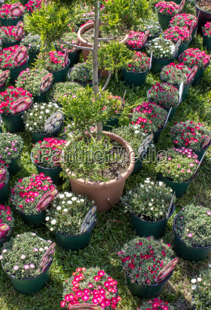 flower pots with red and white