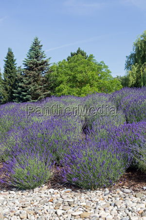 blossoming lavender stones in the foreground