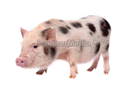 pink with black spots miniature big