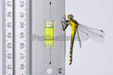 dragonfly western clubtail loves the spirit