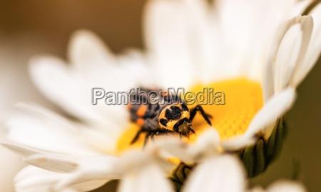 ladybug larvae on marguerite flower front