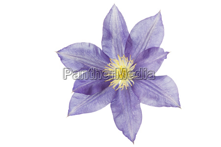 single flower of a clematis isolated