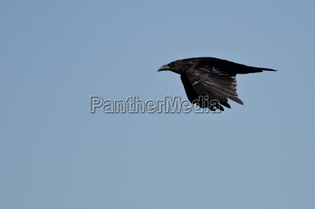 common raven flying in a blue