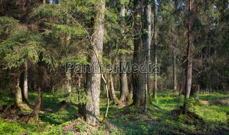 dense forest with old alder tree